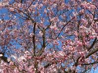 春を愛でる淡路島 - ボーダーコリー レイ'S  ROOM 'chapter2'