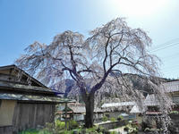枝垂桜と花桂 - 清治の花便り