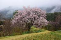 雨の日の葛城古道と天理教本部の桜橋本院・天理教本部 - 峰さんの山あるき