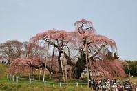 ◆ 昔々の日本三大桜「三春滝桜」(2010年4月) - 空とグルメと温泉と