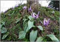 カタクリ山のカタクリの花-3 - 野鳥の素顔 <野鳥と日々の出来事>