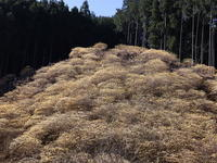 ミツマタの小群落 (2021/3/23撮影) - toshiさんのお気楽ブログ