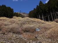 ミツマタの大群落(桐生市屋敷山) (2021/3/23撮影) - toshiさんのお気楽ブログ