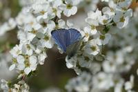 ■花と蝶21.3.26(ルリシジミ、モンシロチョウ、ムラサキシジミ) - 舞岡公園の自然2