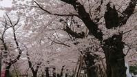 桜の満開の中、シャンシャンのニュース - 緑のかたつむり