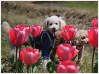 桜満開を待つ間、チューリップで楽しもう!! - さくらおばちゃんの趣味悠遊