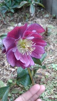 クリロー、芝桜、花韮 - ウィズ(ゼロ)コロナのうちの庭の備忘録~Green's Garden~