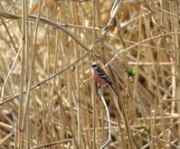 ベニマシコ:冬の小鳥たち2021 - バード・アイ・ライフ