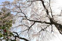 醍醐寺の桜2021 (1) - ファンキーモンキーな旅人Blog