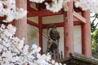 醍醐寺の桜2021 (2) - ファンキーモンキーな旅人Blog