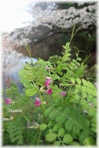 お堀端の桜 - おだやかに たのしく Que Sera Sera