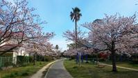 桜と黄砂 - 福岡主婦の旅。食。生活。