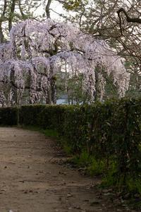 2021桜咲く京都 出水のしだれ桜の朝と夕 - 花景色-K.W.C. PhotoBlog