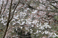 """早野 里山の山桜""""2021/03/26"""" - カワセミと逢える散歩"""
