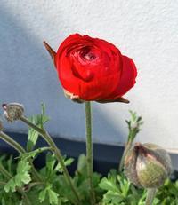 咲きましたよ♪ - La Pousse(ラプス) フローラルのときどき