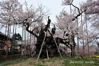 ◆ 昔々の日本三大桜「山高神代桜」(2012年4月) - 空とグルメと温泉と