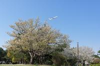 城南島の桜 - K's Airplane Photo Life