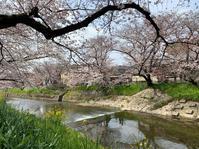 五条川の桜 - ぶら ぶら
