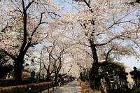 青山墓地の桜 - 錦眼鏡