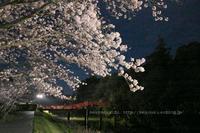 太鼓橋に桜傘 - ねこのあくび