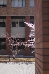 桜 - YAJIS OFFICE BLOG