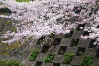 さくら便り春の嵐の散歩オオタカ・ツグミ・シメ・カルガモ春の花2021/3/28 Tokyo - むっちゃんの花鳥風月  ( 鳥・猫・花・空・山 )