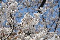 近所の桜。 - FUTU no PHOTO