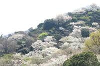 山桜 - 猪こっと猛進