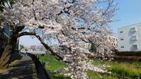 野川写真日記(2021/03/27)-桜満開 - SEのための心理相談室