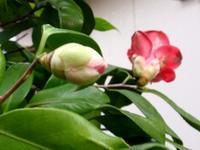 椿の花が咲いた - Zen おりおりの記