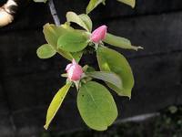 庭の姫りんご,花梨 - 空 sora そら