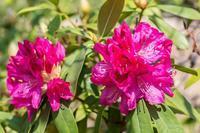 西洋石楠花 - あだっちゃんの花鳥風月