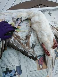 骨格標本明けの翼標本。 - 古道具ときどき猫。