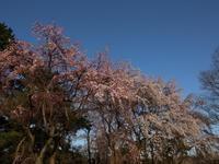 桜だより(3) ~敷島公園 夕間暮れのしだれ桜~ (2021/3/23撮影) - toshiさんのお気楽ブログ