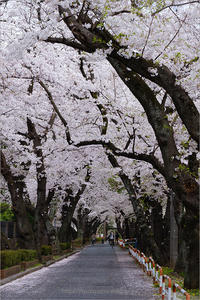 桜並木 - りゅう太のあしあと