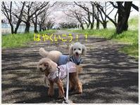 見あげる桜、見おろす桜、圧巻!! - さくらおばちゃんの趣味悠遊