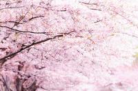 sakura_2021_9 - Shin2 Limited