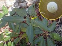 ムラサキシジミ産卵始まる - 秩父の蝶