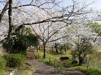 桜満開 - 好食好日