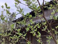 雨上がりのブルーベリーの花 - アオモジノキモチ