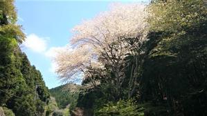 気の合う仲間と桜を見る会No1 -