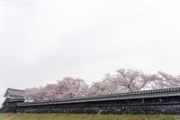 「ご近所桜満開です!-勝竜寺公園-」 - ほぼ京都人の密やかな眺め Excite Blog版