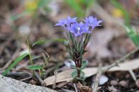 ■ フデリンドウが咲き始めた   21.3.29 - 舞岡公園の自然2
