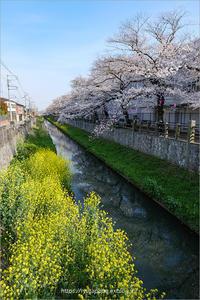 真間川の桜 - りゅう太のあしあと