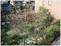 今日はご近所桜、あぁ~、満開!!(v´∀'*) イエーイ♪ - さくらおばちゃんの趣味悠遊