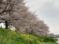 近くの桜と我が家の植栽いろいろ… - いととはり