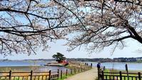 春~の麗~の~多々良沼♪ 満開の桜に染まりながらスマホでどうだ!ナンテ(^^; - 『私のデジタル写真眼』