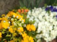 庭の野の花たち… - 侘助つれづれ