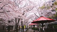 雨の日の桜 - Blue Planet Cafe  青い地球を散歩する