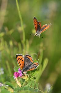 ベニシジミ・・・恋の季節 - 続・蝶と自然の物語
